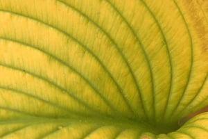 Hosta ventricosa © Paroli Galperti Cuboimages  Bridgeman Images