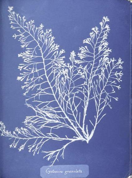 Cystoseira granulata, from Photographs of British Algae- Cyanotype Impressions, published 1843-53 (cyanotype), Atkins, Anna (1799-1871)  Spencer Collection, New York Public Library, USA  Bridgeman Images