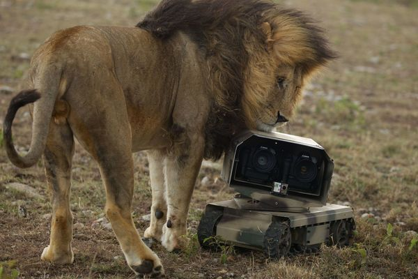 An adult male lion investigates a robot camera car (photo) / Michael Nichols/National Geographic Creative