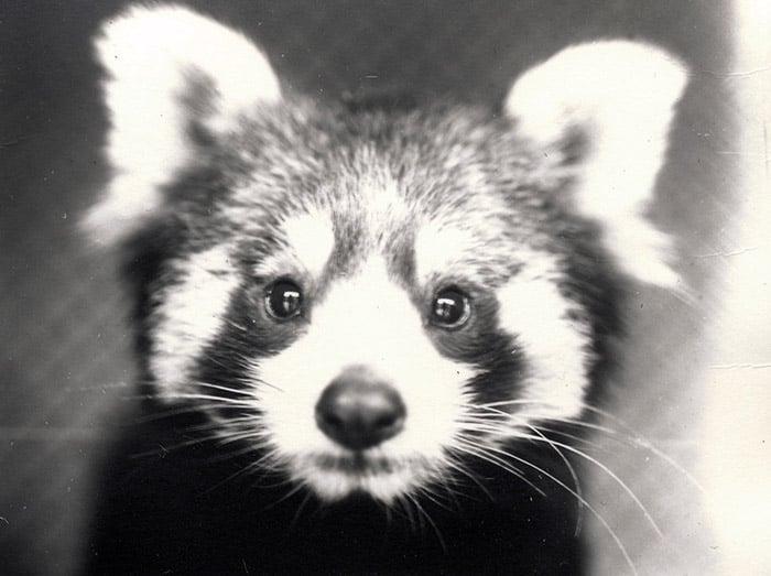 Red Panda, 1913 (b/w photo) by Frederick William Bond (1887-1942) / Zoological Society of London / Bridgeman Images