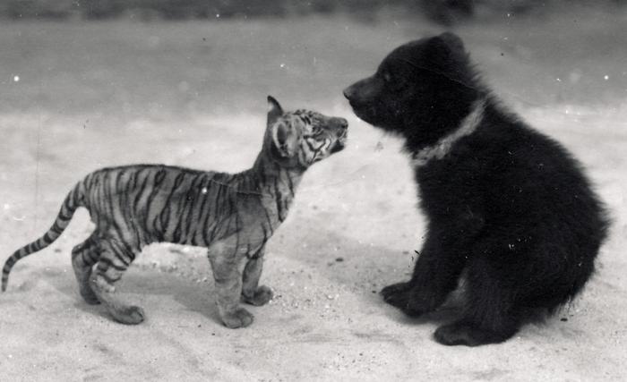Tiger cub meets bear cub, 1914 (b/w photo), Bond, Frederick William (1887-1942) / Zoological Society of London