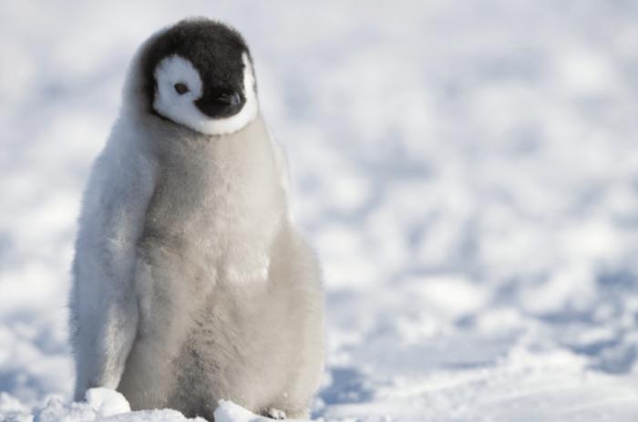 Young emperor penguin Snow Hill Island, Antarctica Photo © Sue Flood