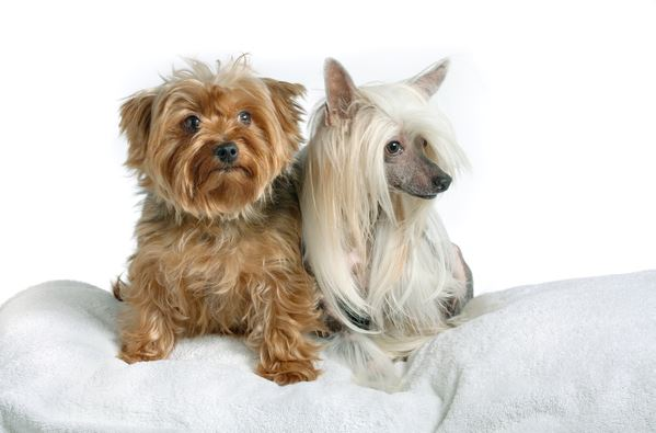 dogs-chinese-crested-yorkshire-terrier