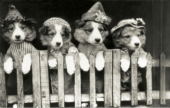 Dressed Puppies Standing at a Fence, 1929 (silver print photograph), American Photographer, (20th century) / Private Collection / Photo © GraphicaArtis
