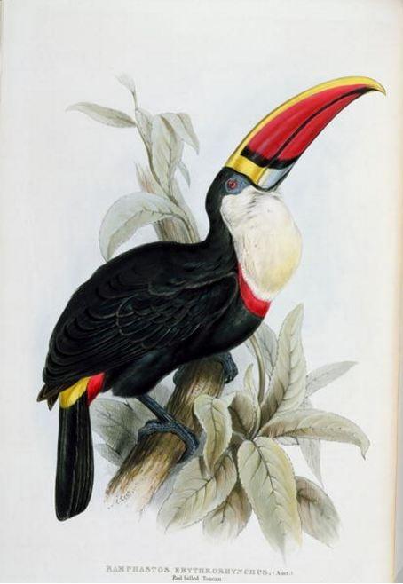 john-gould-toucan-edward-lear